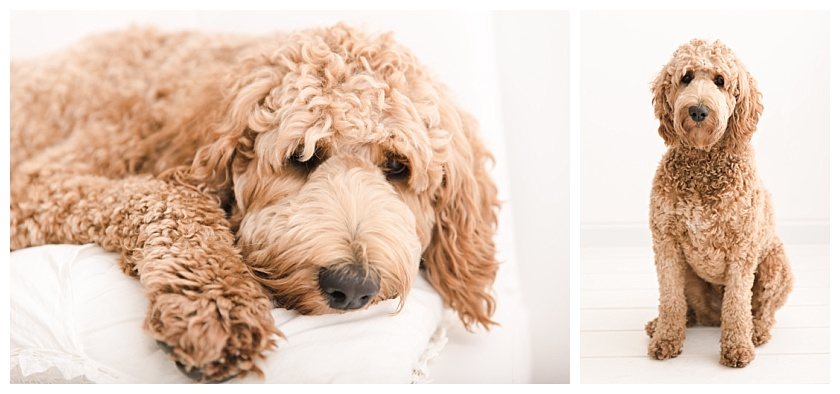 standard goldendoodle sitting for pet portraits in cedar falls studio