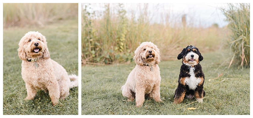 tan miniature goldendoodle and mini bernadoodle posing in cedar falls field