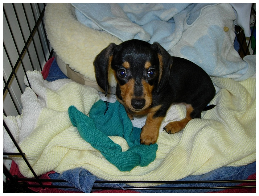 black and tan miniature dachshund puppy in her crate on a yellow blanket