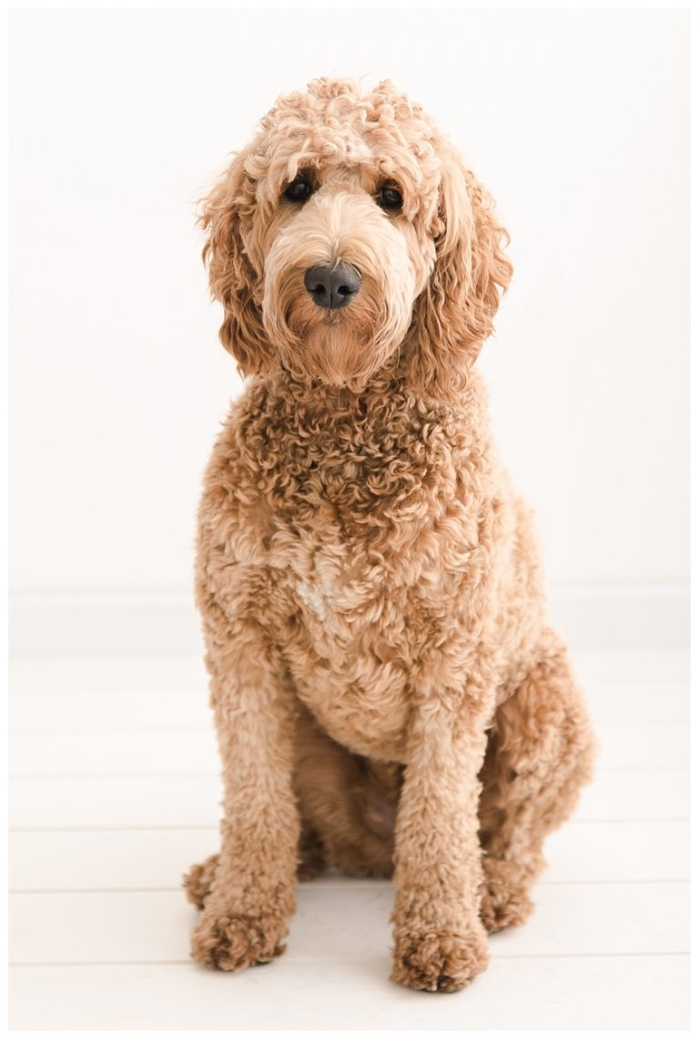 brown standard goldendoodle posing for pet portraits